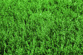 Green grass background close up with Royalty Free Stock Photo