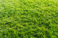 Green grass background close up Royalty Free Stock Photography