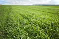 Green grass background - cultivated land wheat Royalty Free Stock Image