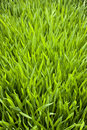 Green grass background a fresh Royalty Free Stock Photography