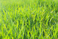 Green grass backlit by afternoon closeup photography Royalty Free Stock Photos