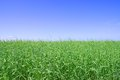 Green grass, the blue sky and white clouds Royalty Free Stock Photo