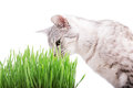 Green grass cat Royalty Free Stock Photo