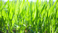 Green grass close-up Royalty Free Stock Photography