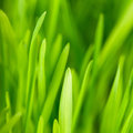 Green grass close up as a bacgkround Royalty Free Stock Photo