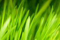 Green grass close up as a bacgkround Royalty Free Stock Image