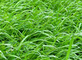 Green grass close up on fresh Royalty Free Stock Photos