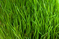 Green grass close up pattern Royalty Free Stock Photo