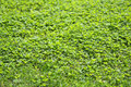 Green grass clover texture Royalty Free Stock Photo