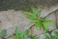 Green grass crawl on concrete floor at outdoor garden. Royalty Free Stock Photo