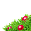 Green grass with daisy flowers border isolated on white background Stock Photography