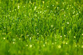 Green grass with dew Royalty Free Stock Photography