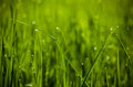 Green grass. Dew drops close-up on fresh green spring grass.The Royalty Free Stock Photo