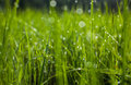 Green grass. Dew drops close-up on fresh green spring grass. Royalty Free Stock Photo