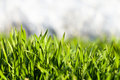 Green grass with dew drops fresh juicy for your design Stock Photography