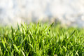 Green grass with dew drops fresh juicy for your design Stock Images