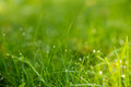 Green grass with dew in the sunlight fresh Stock Image