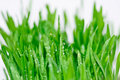 Green grass with dewdrops Royalty Free Stock Photography