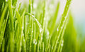 Green grass with dews drop close up of nature fresh Stock Images