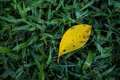 Green grass with a fallen leaf Royalty Free Stock Photo