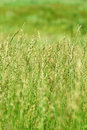 Green grass in field Royalty Free Stock Images