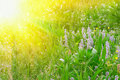 Green grass and flowers in sun rays Royalty Free Stock Photo