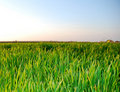 Green grass, fresh grass Royalty Free Stock Photo