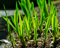 green grass grows from the ground Royalty Free Stock Photo