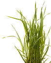 Green grass isolated white background. Sedge Royalty Free Stock Photo