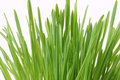 Green grass isolated on white close up Stock Image
