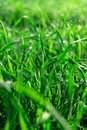 Green grass leafs with morning dew drops at sunrise. Royalty Free Stock Photo