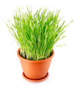 Green grass in the pot isolated Royalty Free Stock Image
