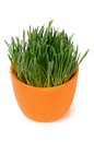 Green grass in pot isolated on white background Royalty Free Stock Photo