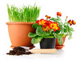 Green grass in the pot with red flowers isolated Royalty Free Stock Image