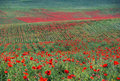 Green grass and red flowers summer landscape with farmland with bright poppy floral texture background poppies blossom Stock Images