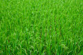 Green grass rice field texture of vietnam southeast asia Stock Image