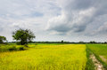 Green grass rice and sky in the field nature Royalty Free Stock Photography