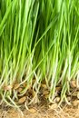 Green grass with roots Royalty Free Stock Photo