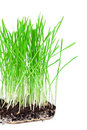 Green grass showing roots on a white background Royalty Free Stock Photos
