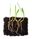 Green grass sprouts with roots Stock Photos