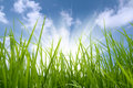 Green grass and sun Royalty Free Stock Photo