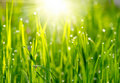 Green grass sunset Royalty Free Stock Photography