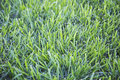 Green grass tall uncut yard field Royalty Free Stock Photo