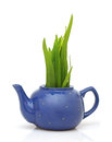 Green grass in teapot on white Stock Image
