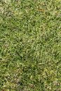 Green grass texture on a golf course Royalty Free Stock Image