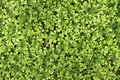 Green grass texture ground cover Royalty Free Stock Images