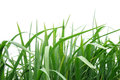 Green grass on the white background Royalty Free Stock Photos