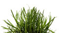 Green grass white background. Sedge Royalty Free Stock Photo