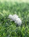 On green grass white flower chrysanthemum in drops of dew rain macro Royalty Free Stock Photo