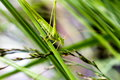 Green grasshopper Royalty Free Stock Image